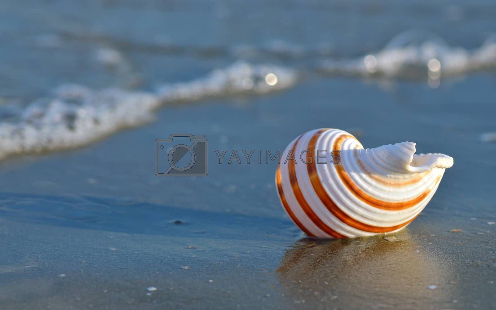 Macro shell on tropical beach
