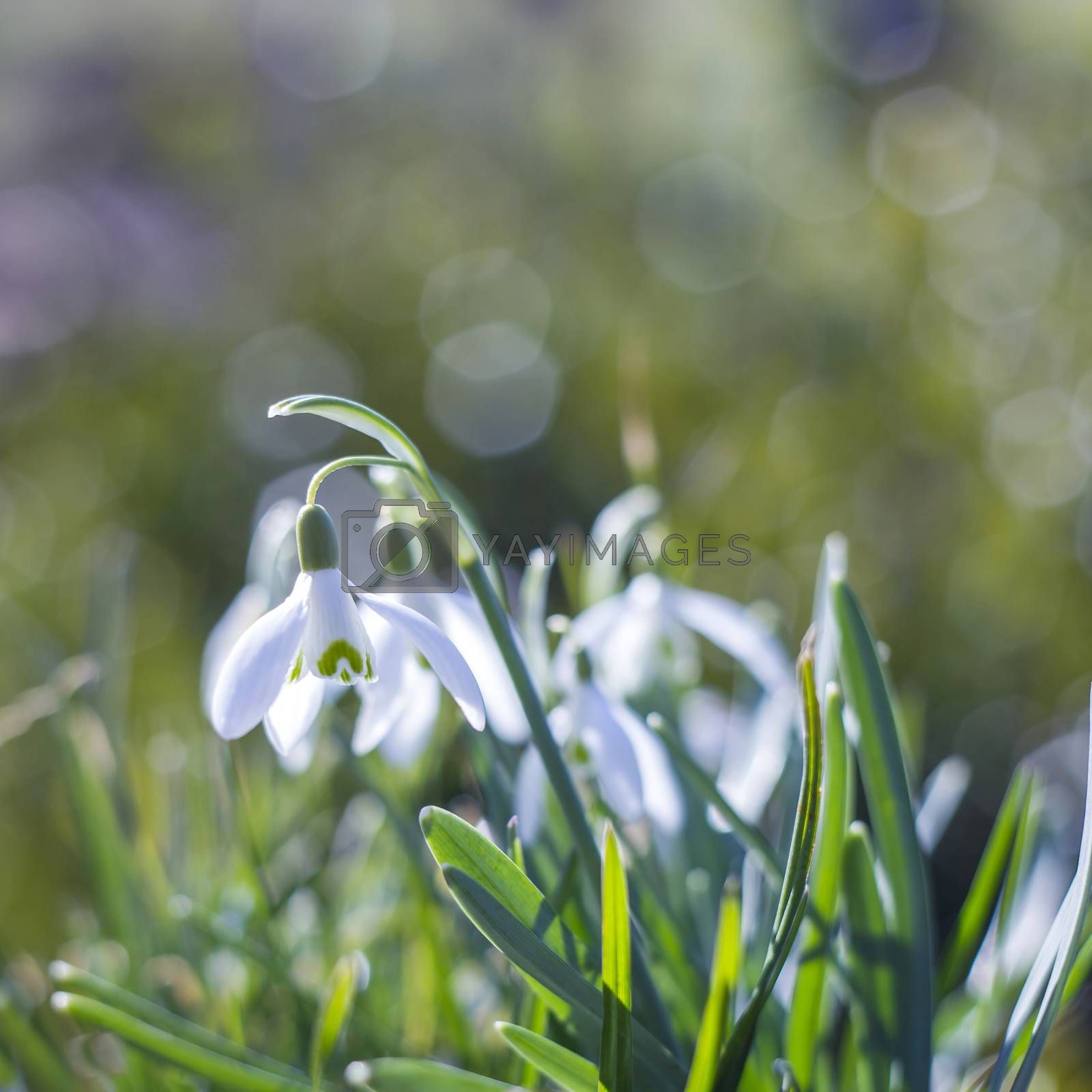 snowdrop - one of the first spring flowers