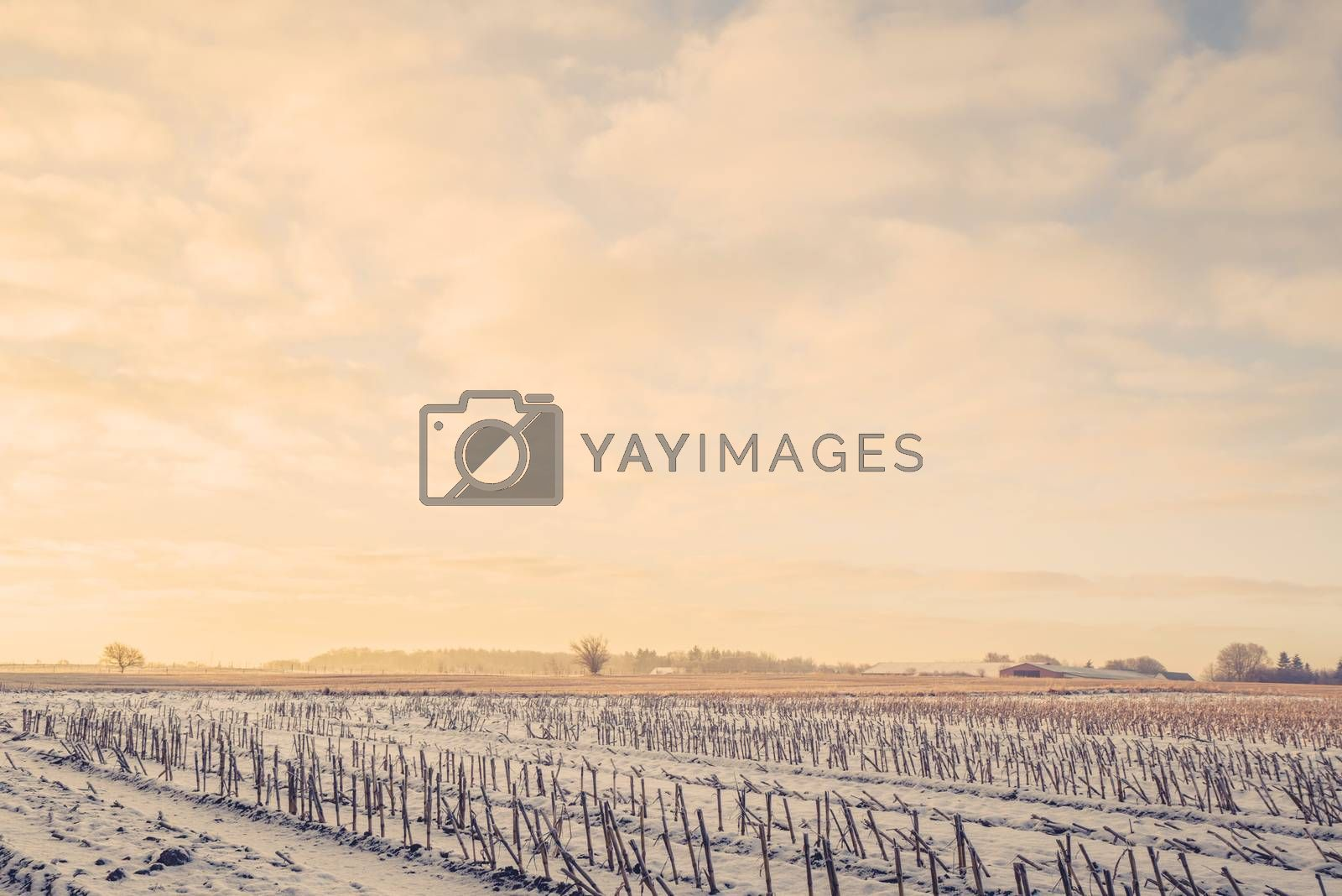 Countryside landscape with crops on a field in the wintertime
