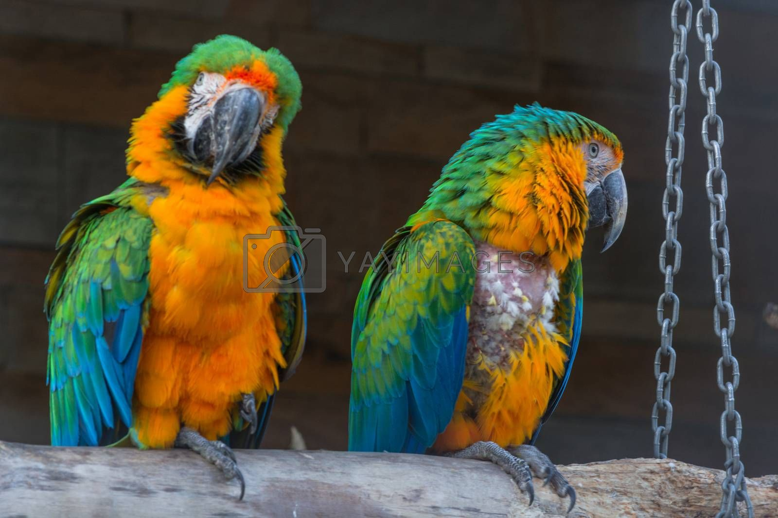Two Beautiful colorful macaw parrots, side view.