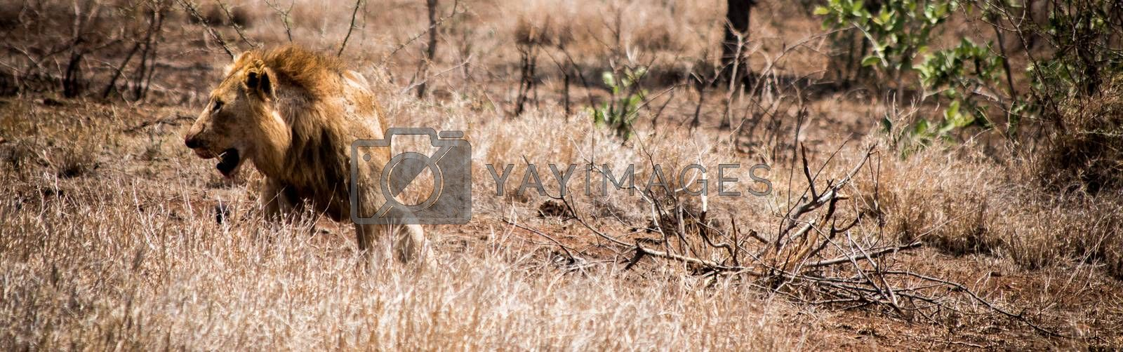Lion laying in the grass in the Kruger National Park, South Africa.