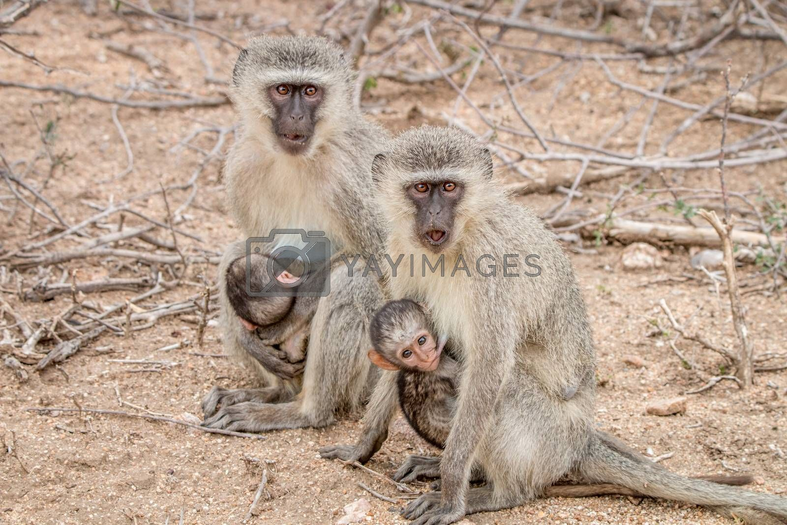 Two Vervet monkeys with two babies in the Kruger National Park, South Africa.