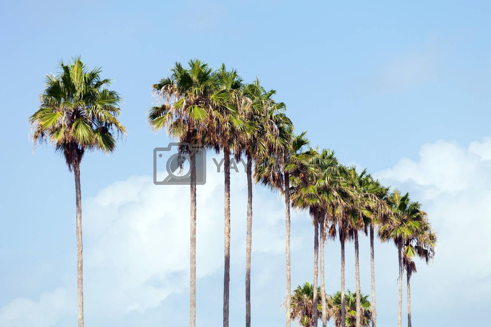 Royalty free image of Palm Trees in a Row by graficallyminded