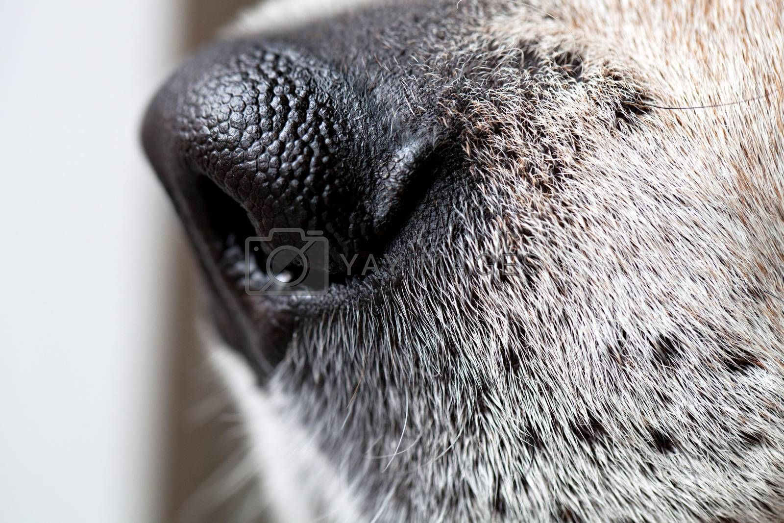 Macro closeup shot of a beagle dogs nose.