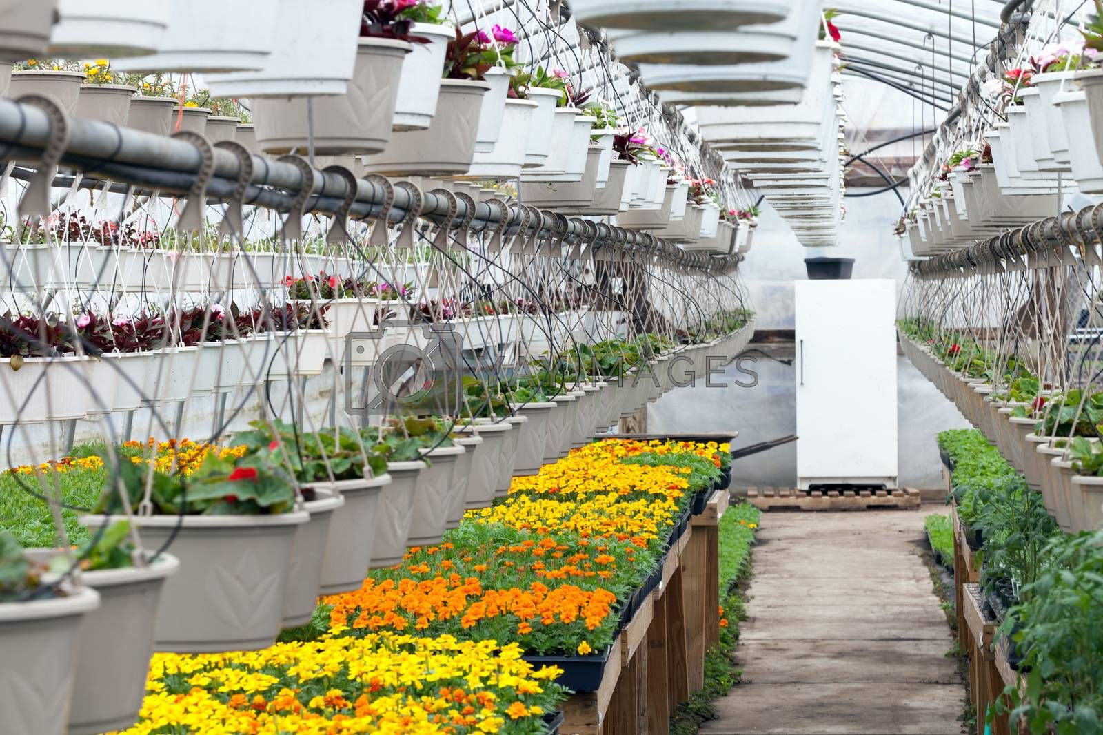 Royalty free image of Greenhouse Nursery Flowers by graficallyminded
