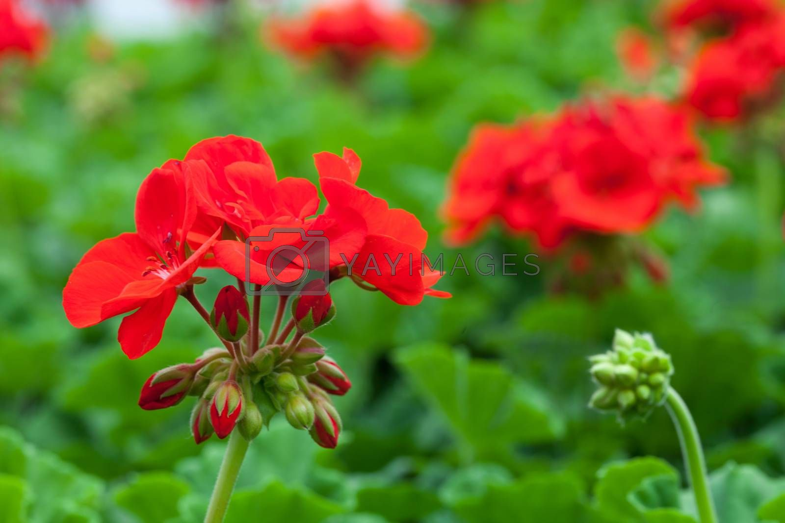 Macro closeup of some red flowers with a shallow depth of field.