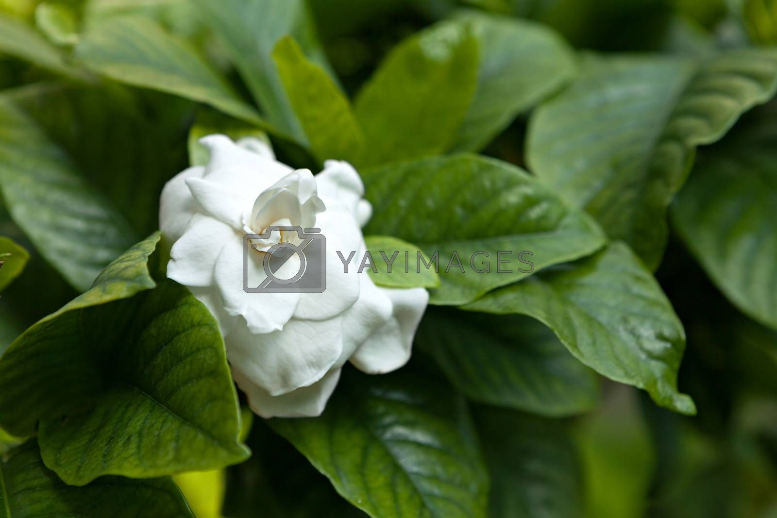 White Flower Green Leaves by graficallyminded