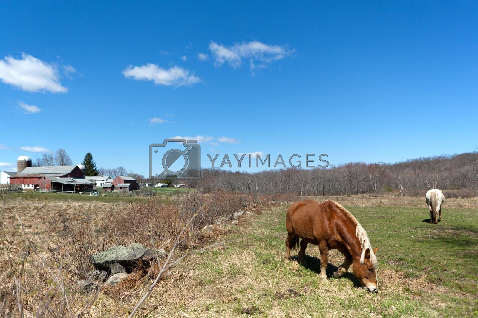 Royalty free image of Horses Grazing in the Pasture by graficallyminded