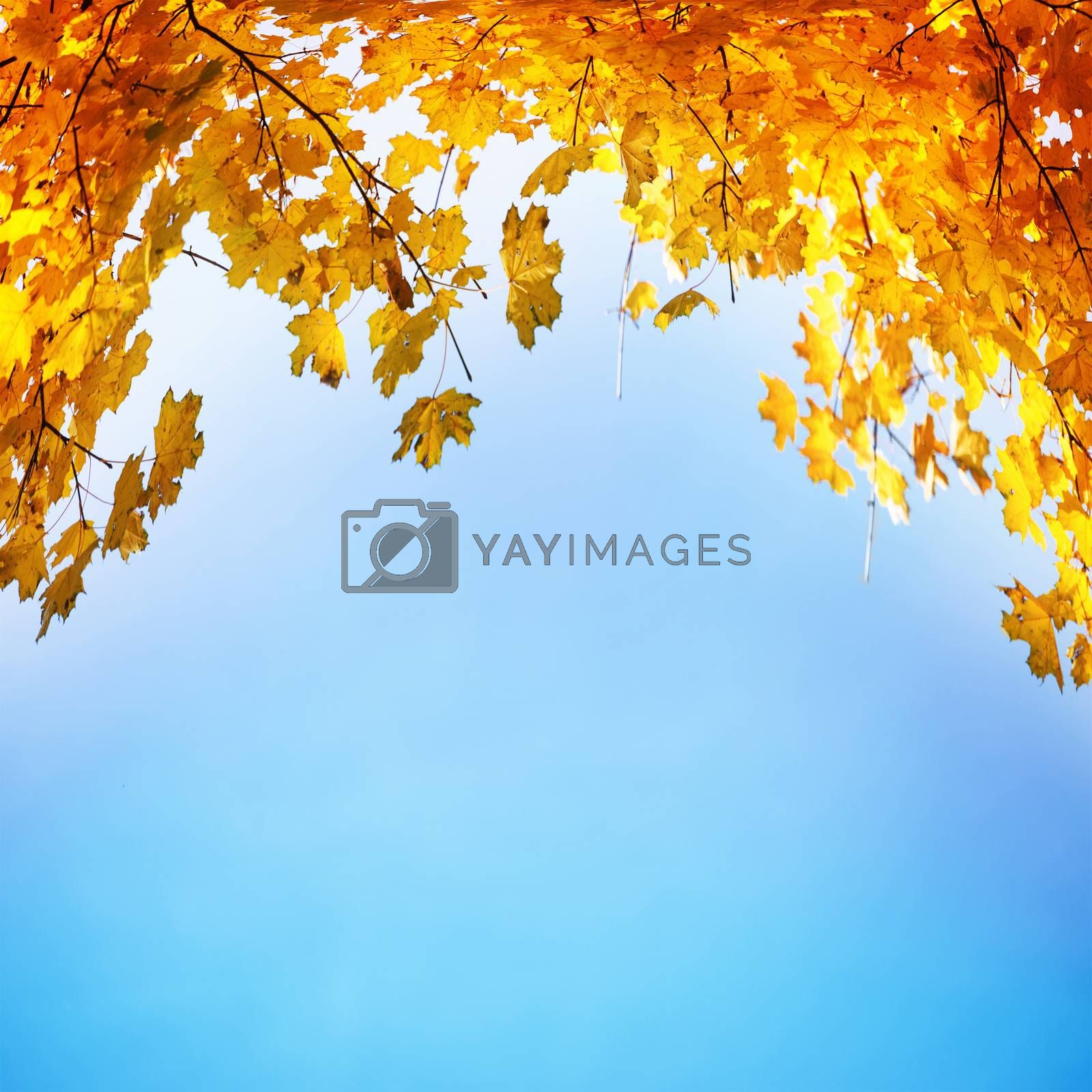 Golden, yellow and orange leaves by vapi