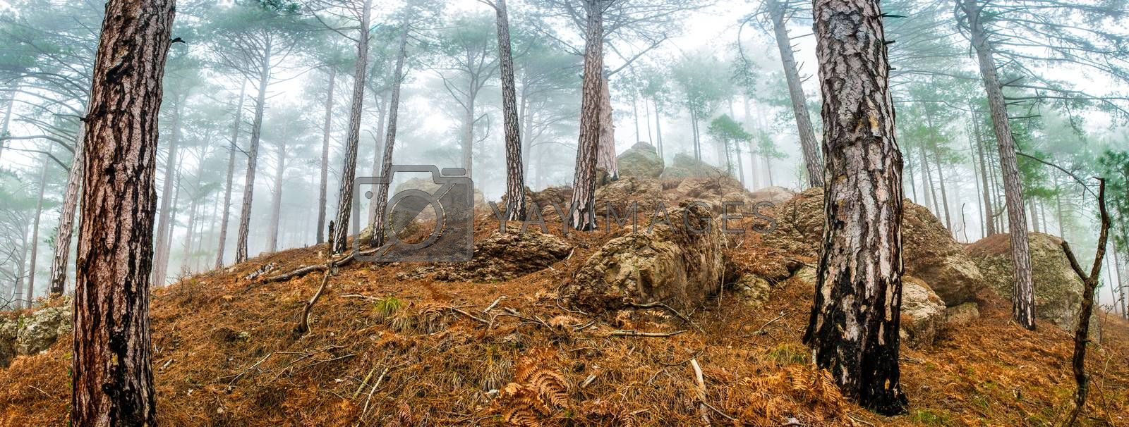 Panoramic view of pine misty forest with big trees