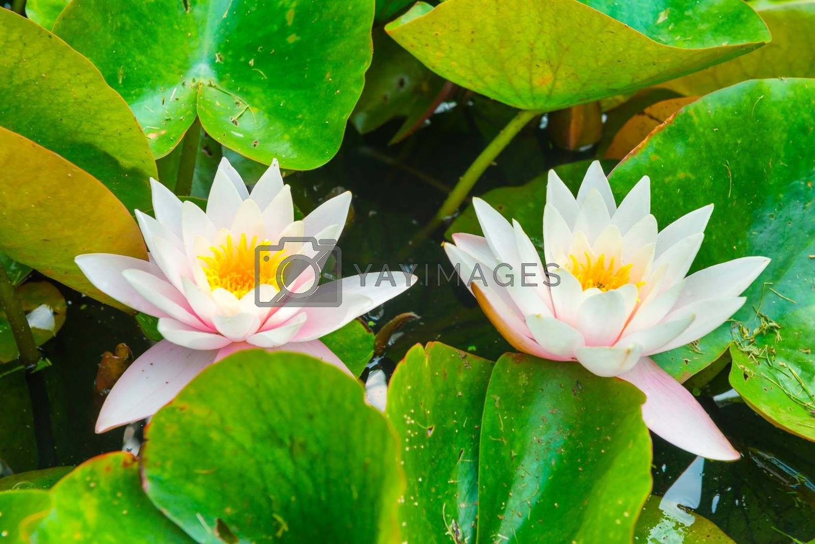 White flowers- water lillies  with green leaves on the pond