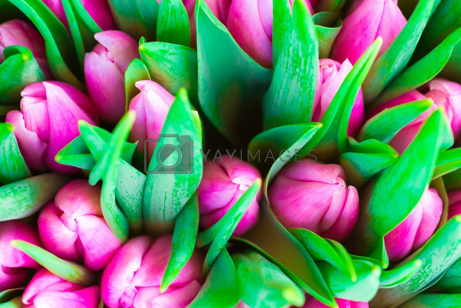 Fresh pink tulips with green leaves- nature spring background. Soft focus and bokeh