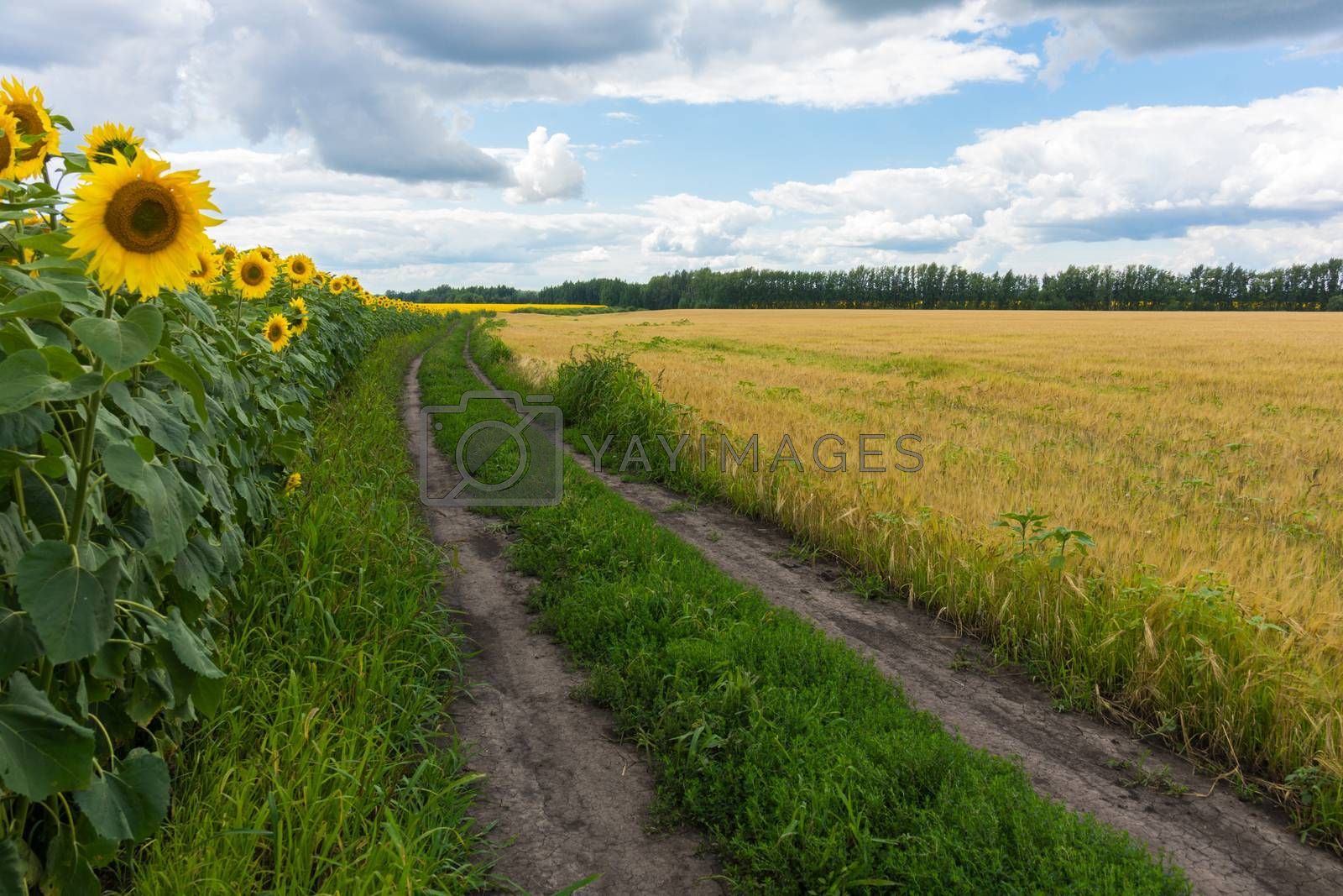 The photo shows a field of sunflowers and the road running along it