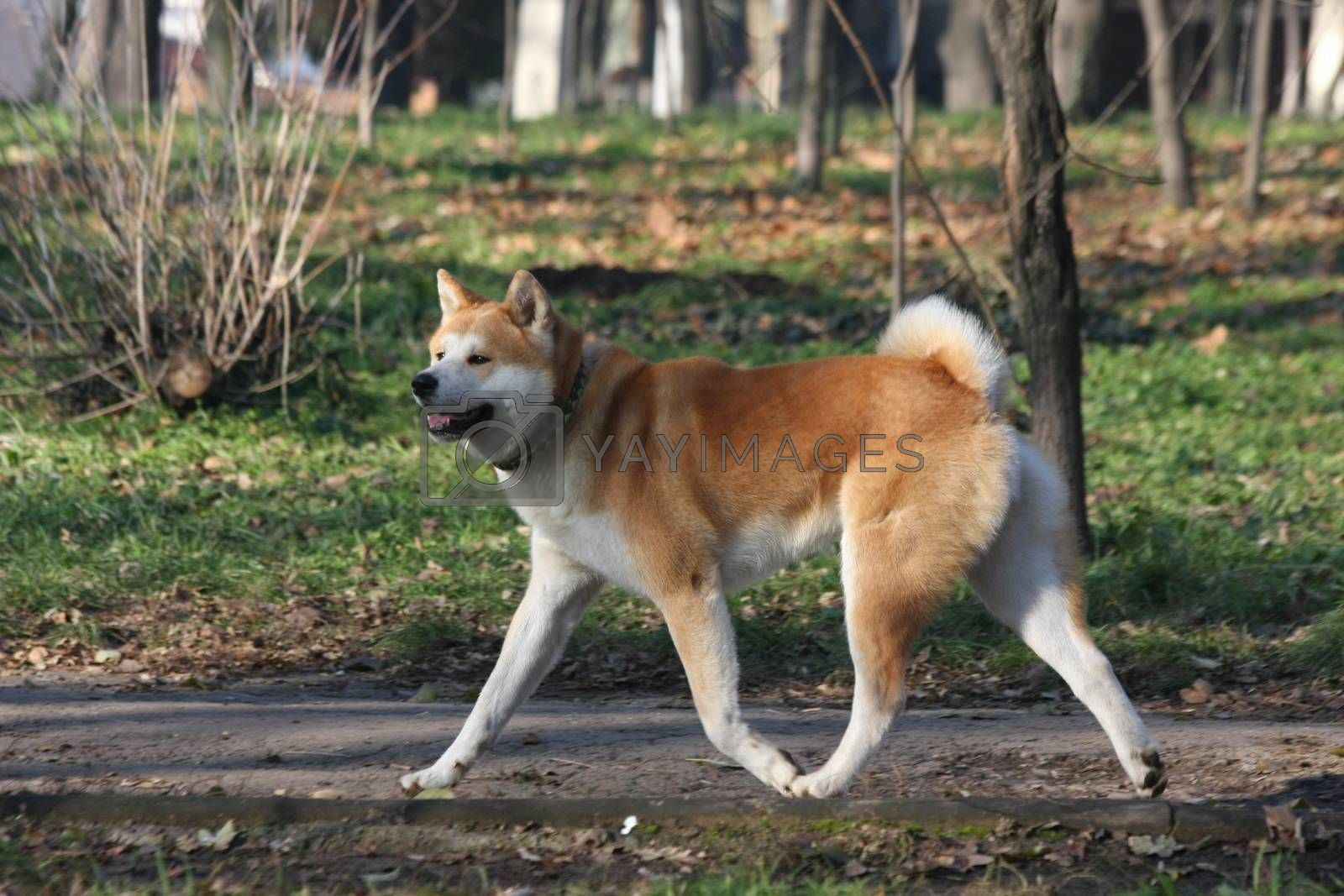 Beautiful Akita Inu proudly walking  in  public park