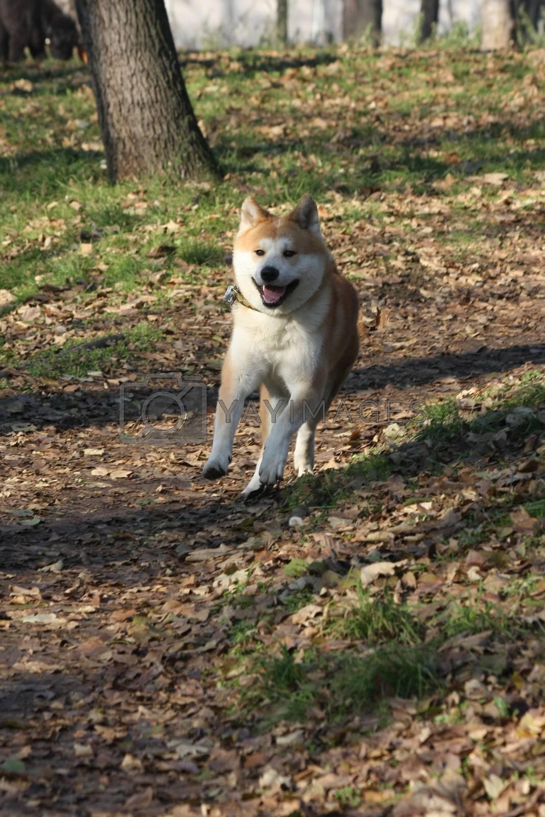 Beautiful Akita Inu happily running  in  public park