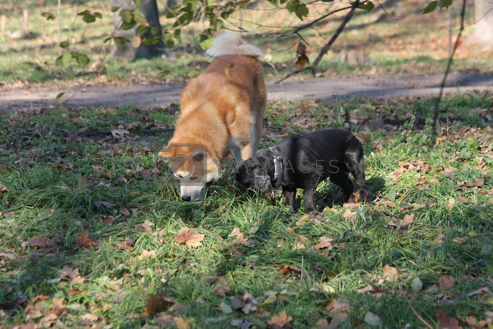 Akita Inu and Cocker Spaniel snuffling together in public park