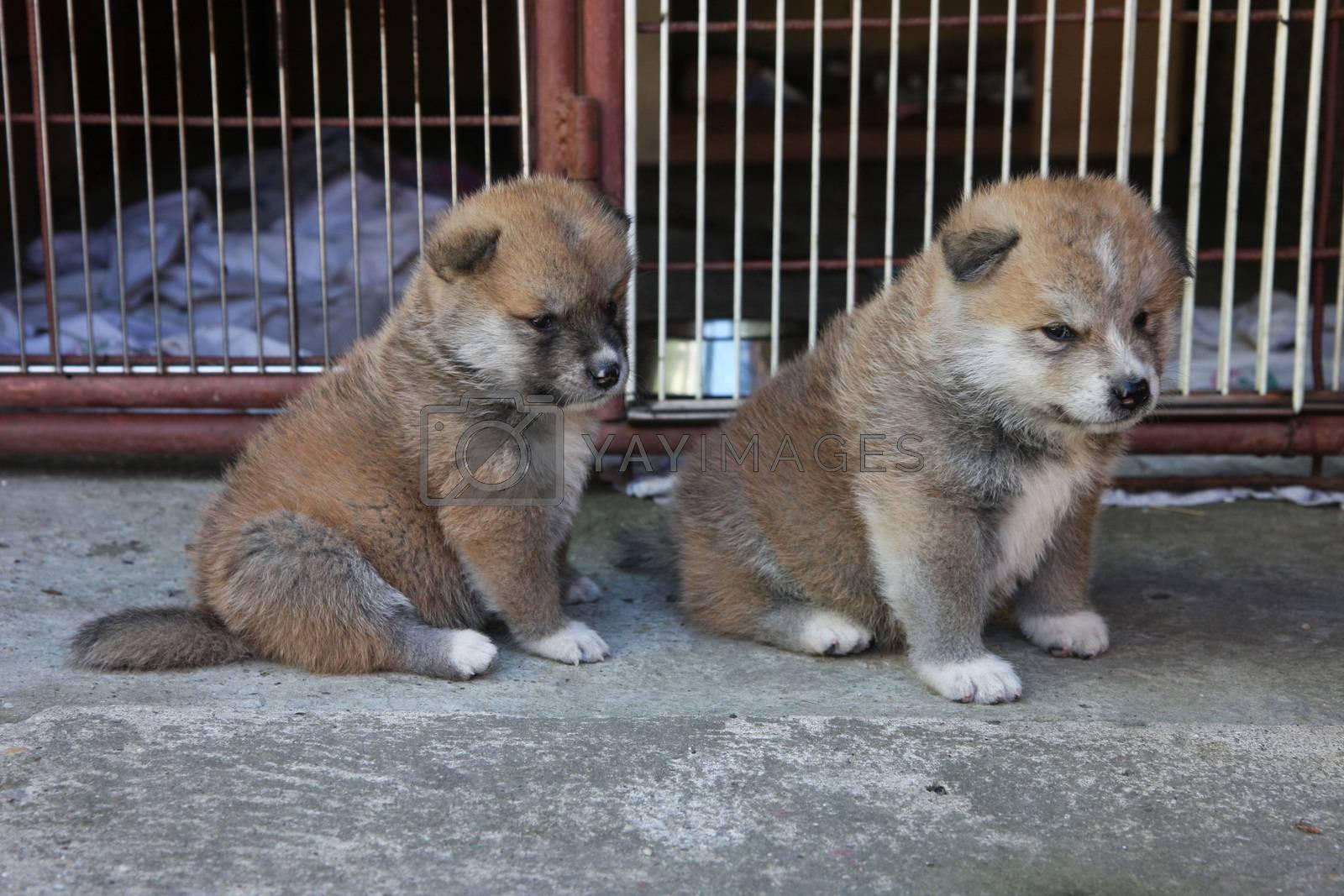 Couple of Akita Inu puppies seriously thinking