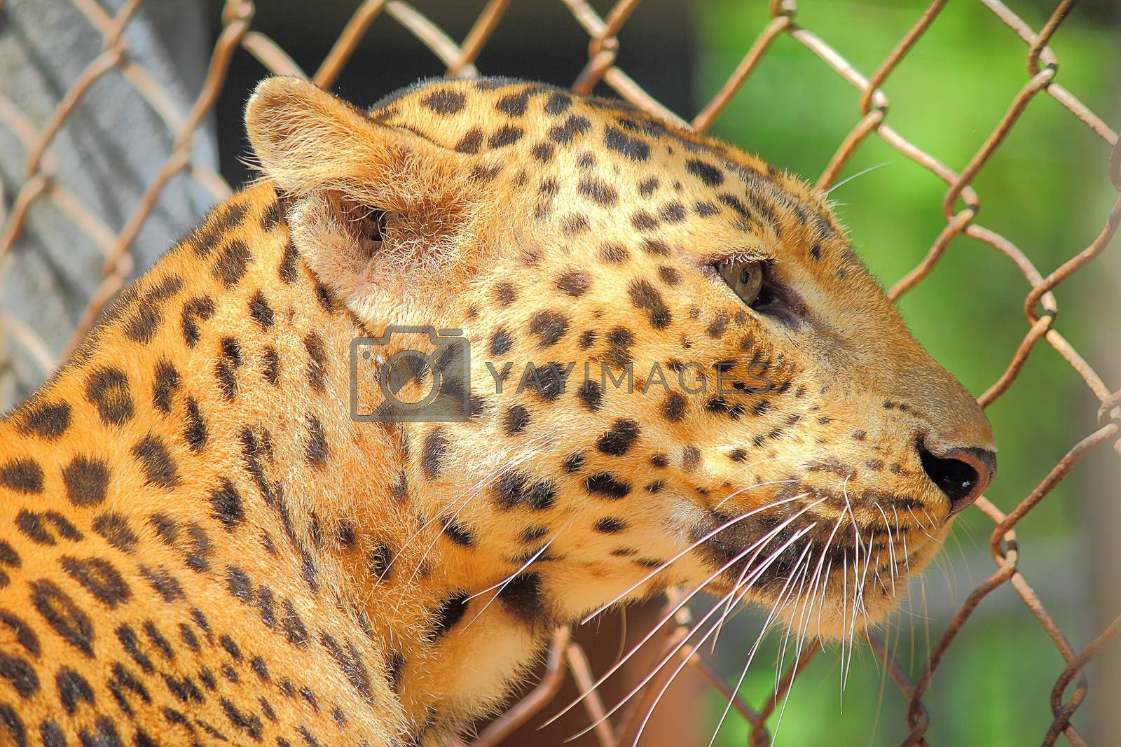 Most animals All animals must eat other living things. It was like a leopard, as being the same