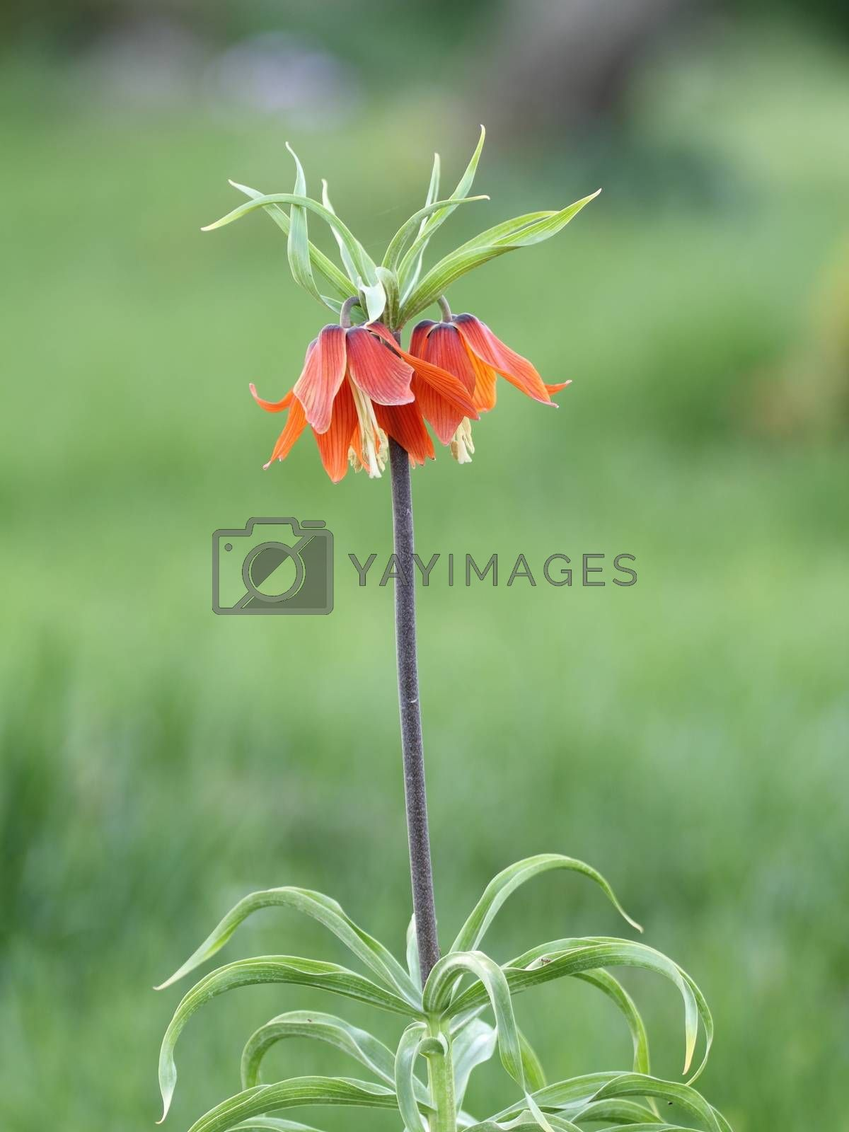 Royalty free image of fritillaria  imperialis in Turkey mountains with green backgroun by mturhanlar