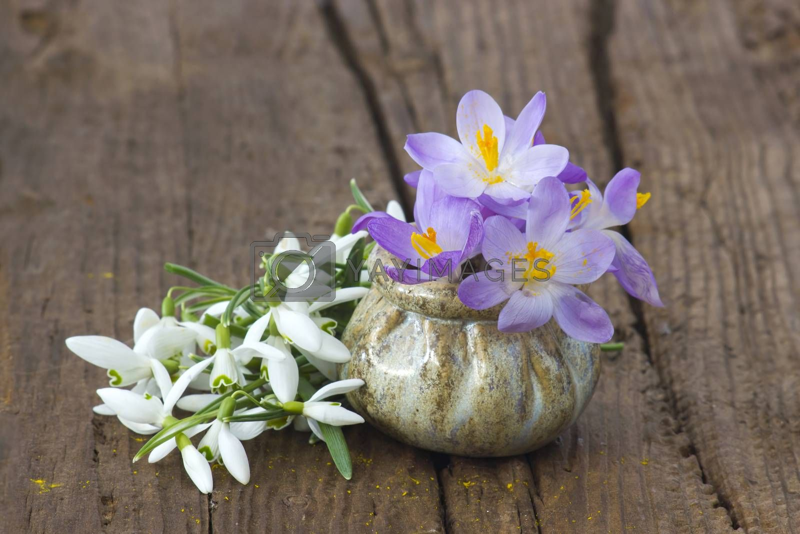 Royalty free image of  crocus and snowdrops on the wooden table by miradrozdowski