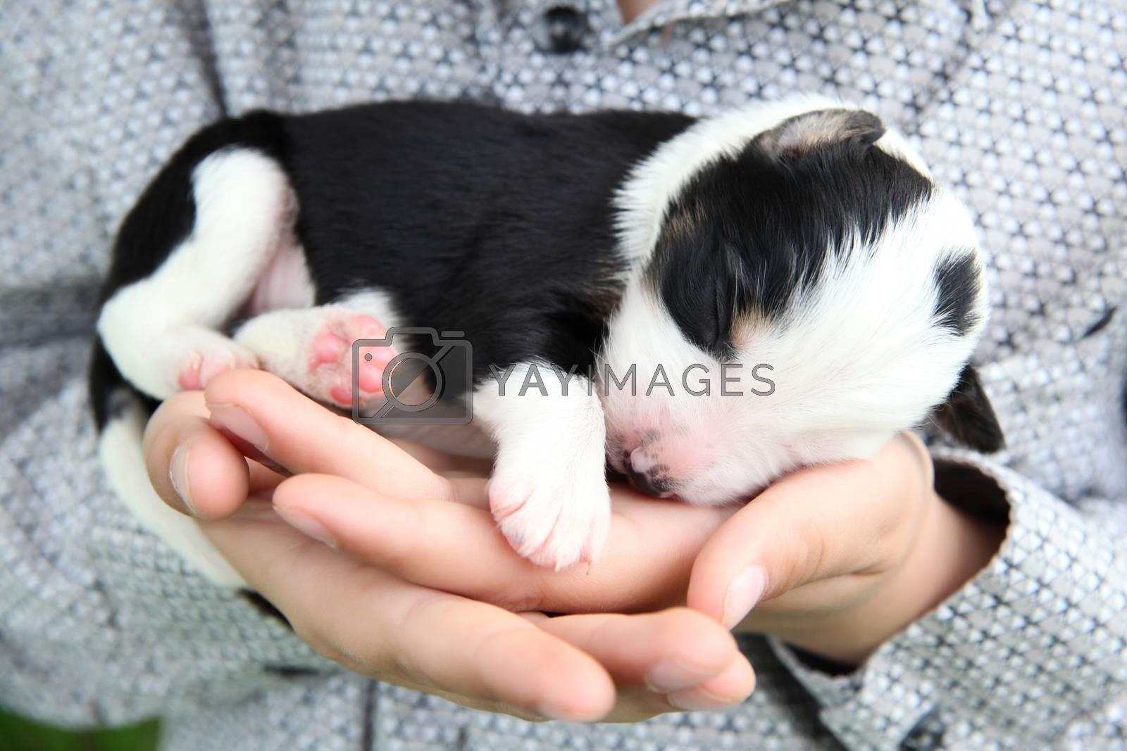One week old Border Collie puppy sleeping