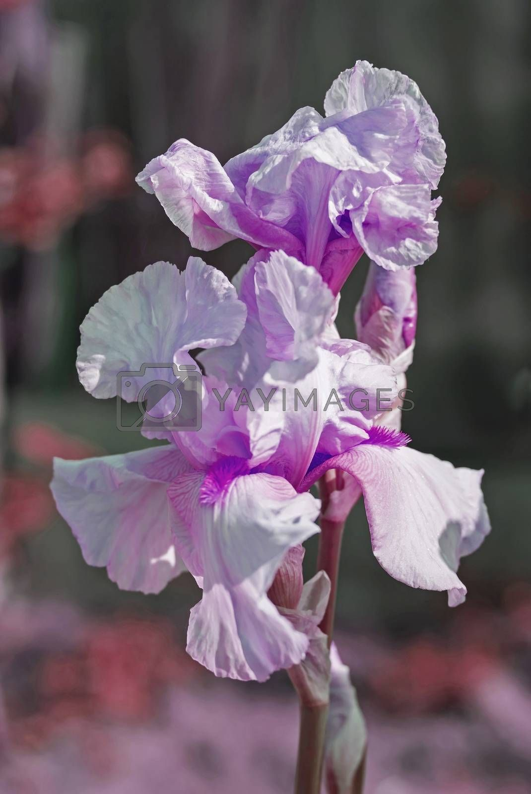 Iris flower in the flower bed, perennials, spring or summer flower, soft focus