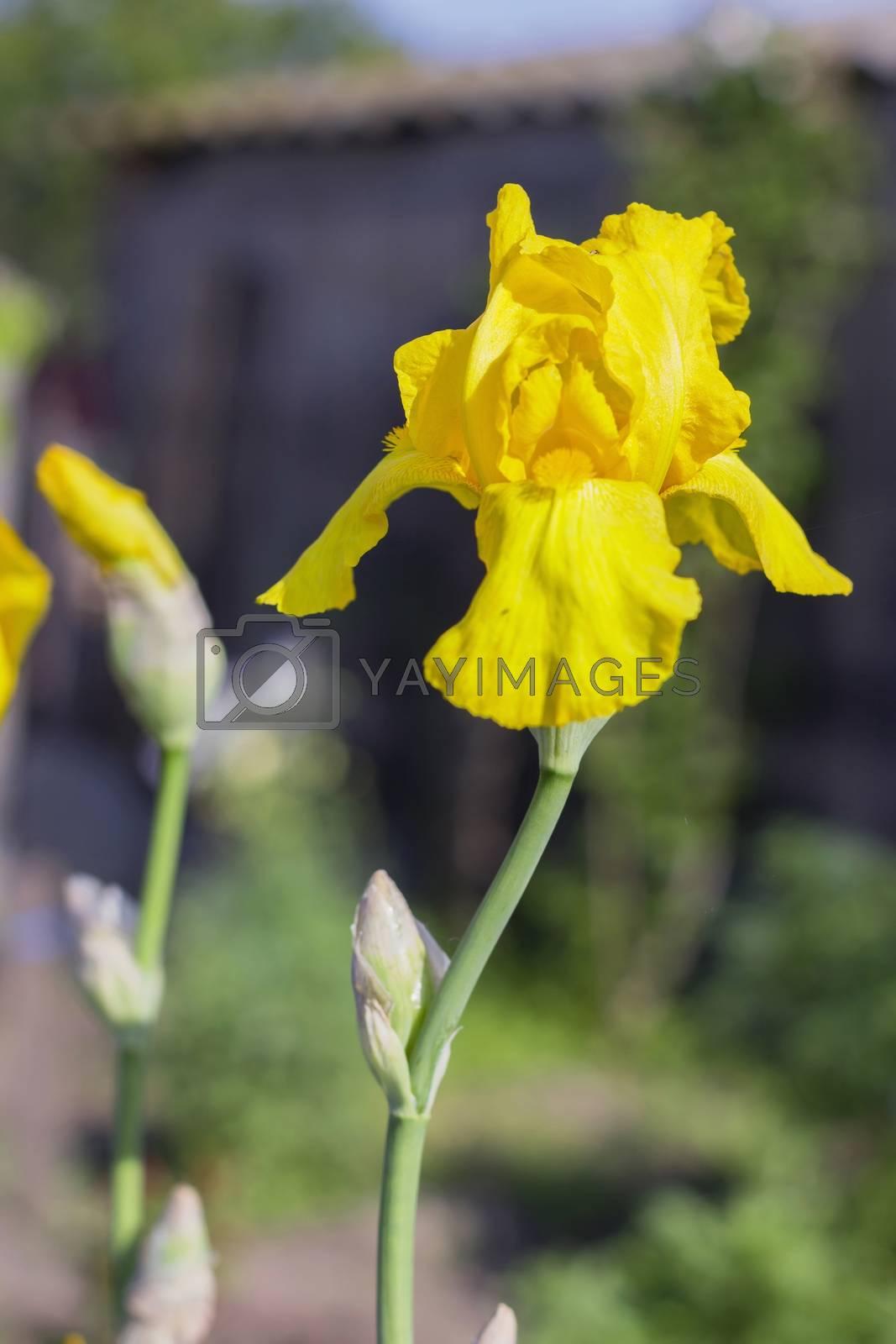Yellow Irises (lat. Íris)   flowers, perennial, spring flower, soft focus