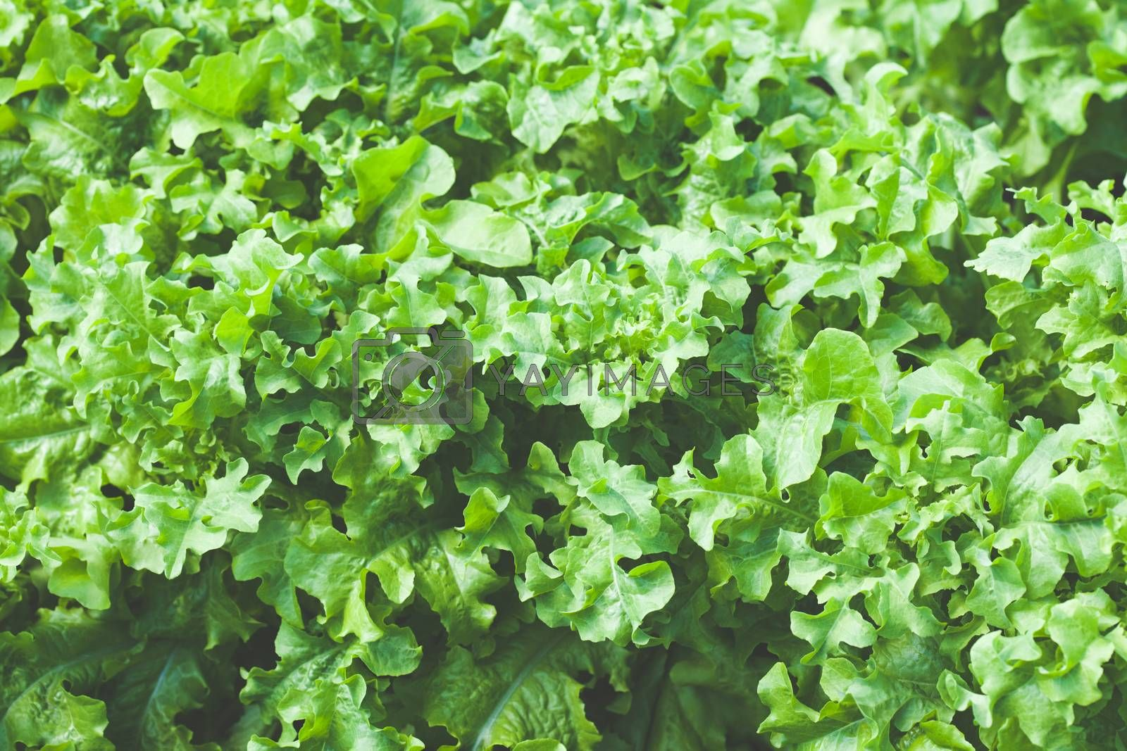 Green salad leaves. Concept of healthy lifestyle and dieting