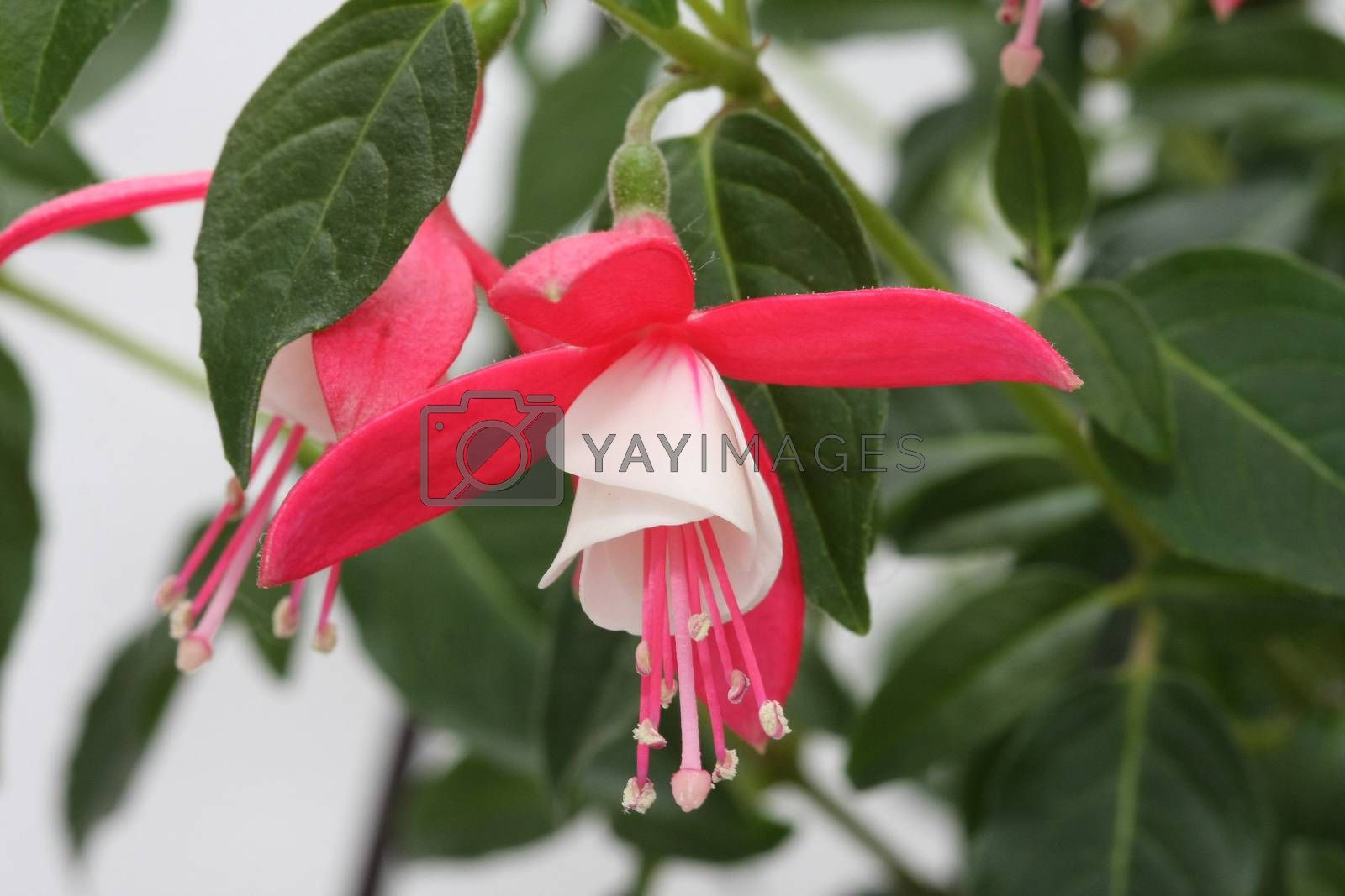 Fuchsia flowers by tdjoric