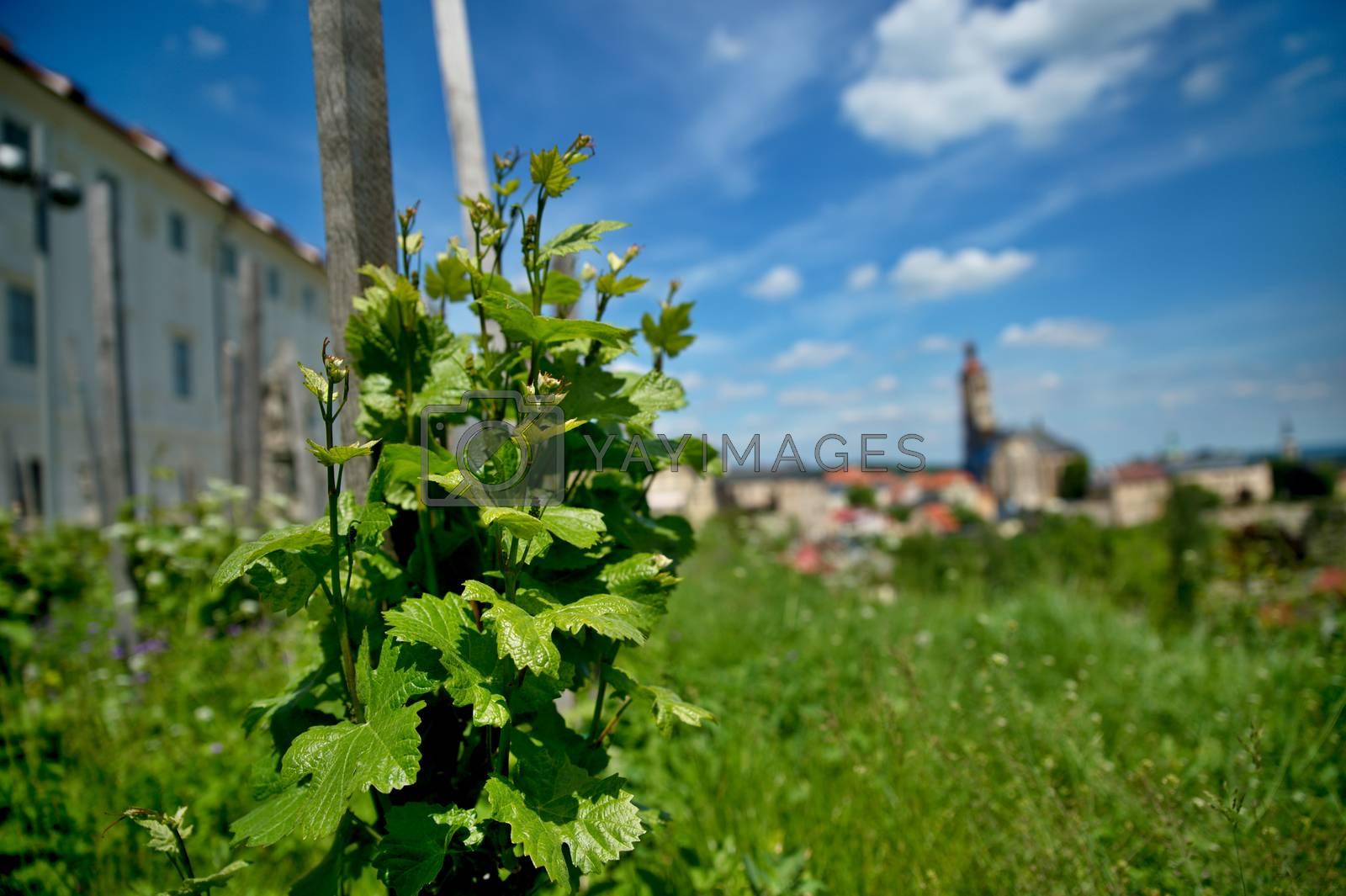 vineyard in Kutna Hora in Czech republic