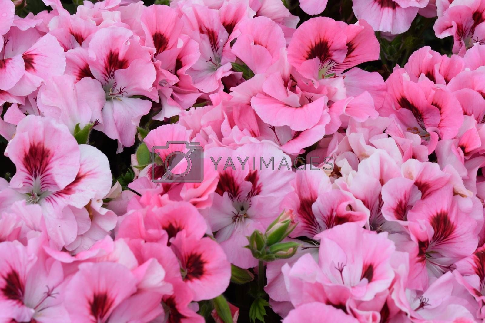 Mass of Bright pink flowers