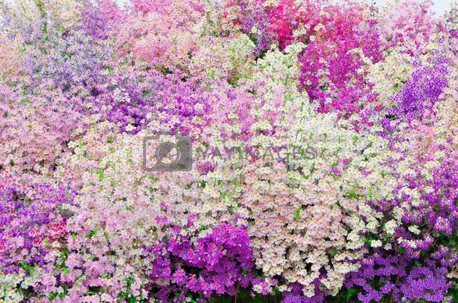 Mass of Purple and Pink poor mans orchid Schizanthus