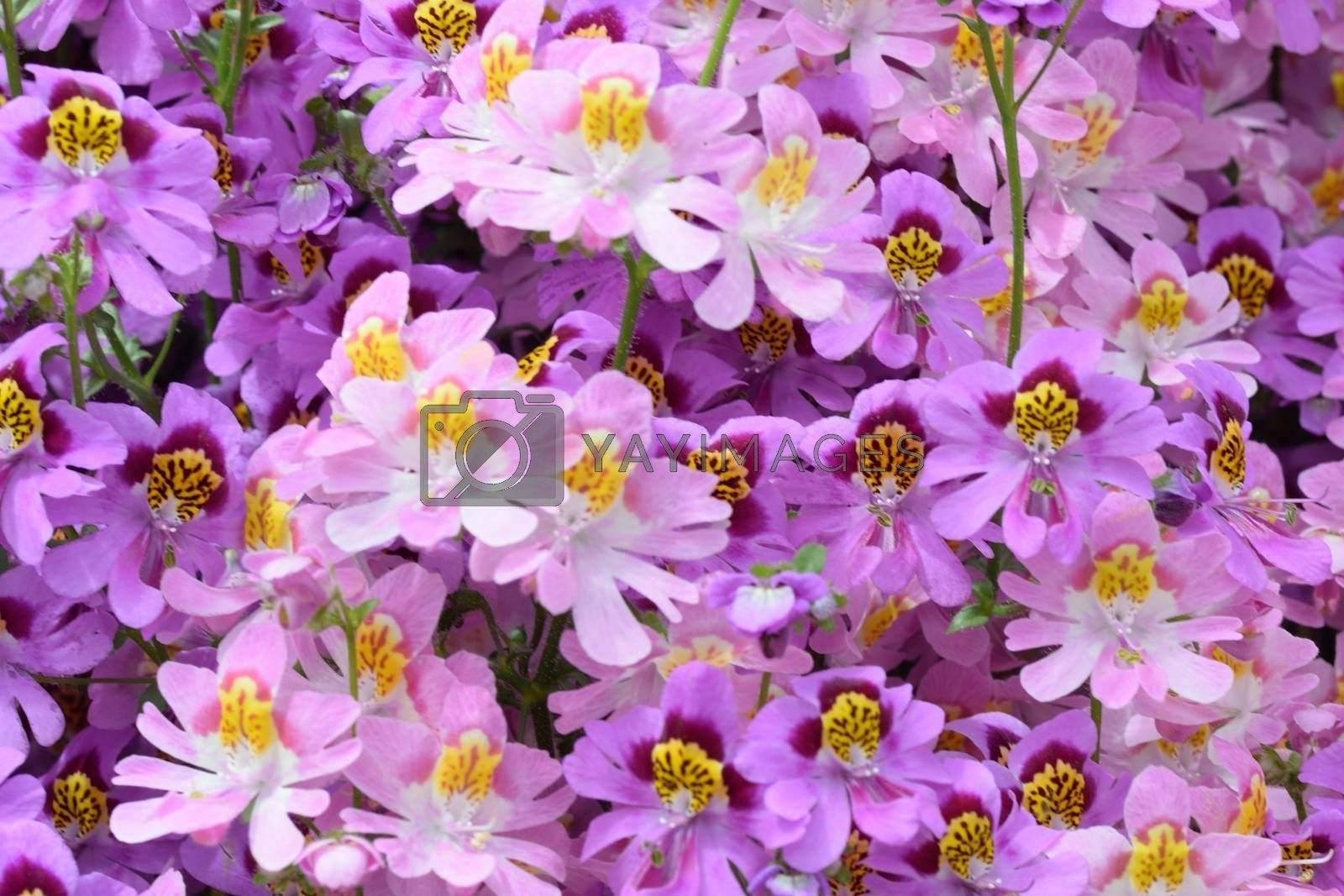Purple Poor mans Orchid Flowers