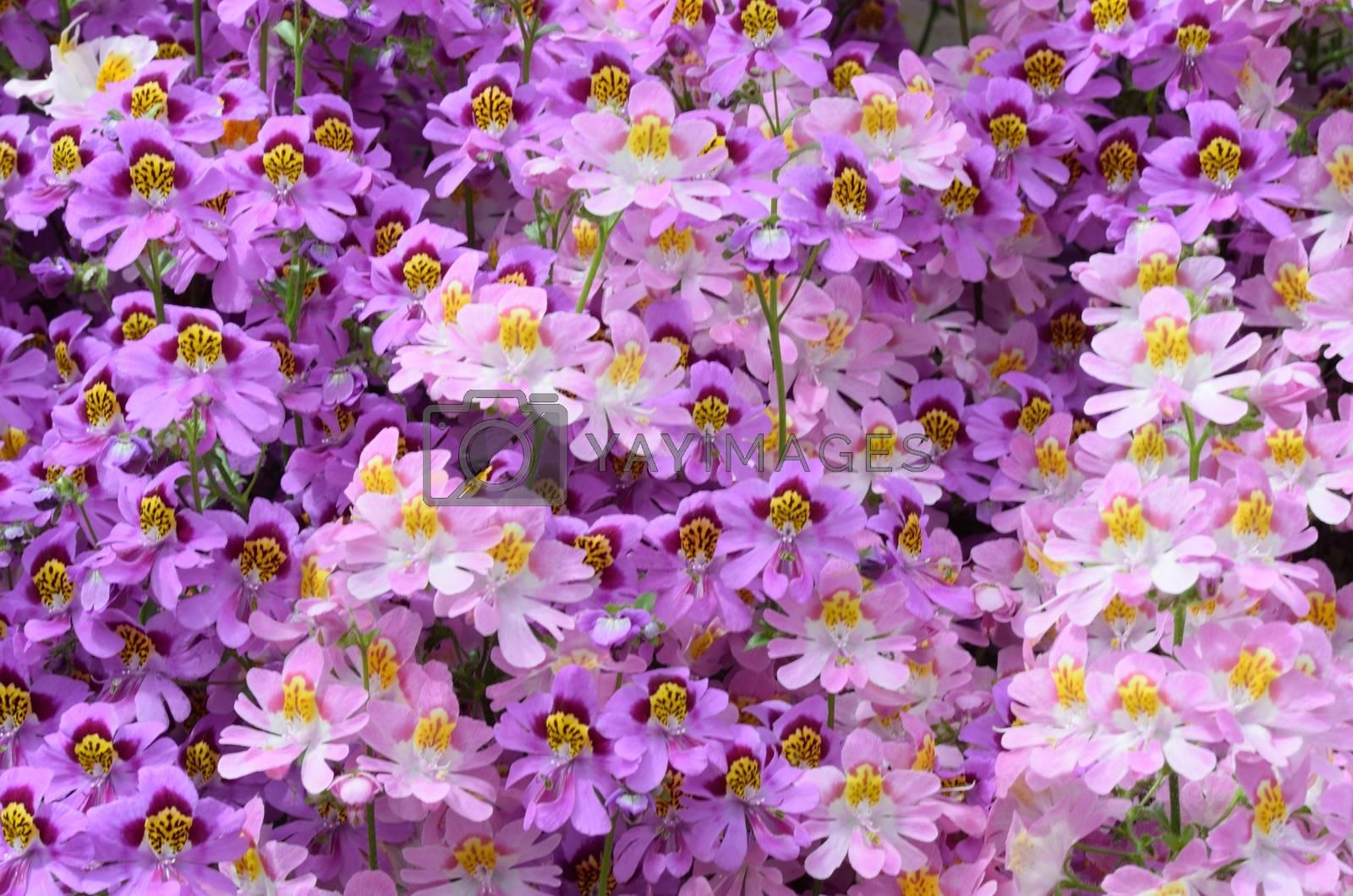 Purple Poor Man's Orchid Flowers