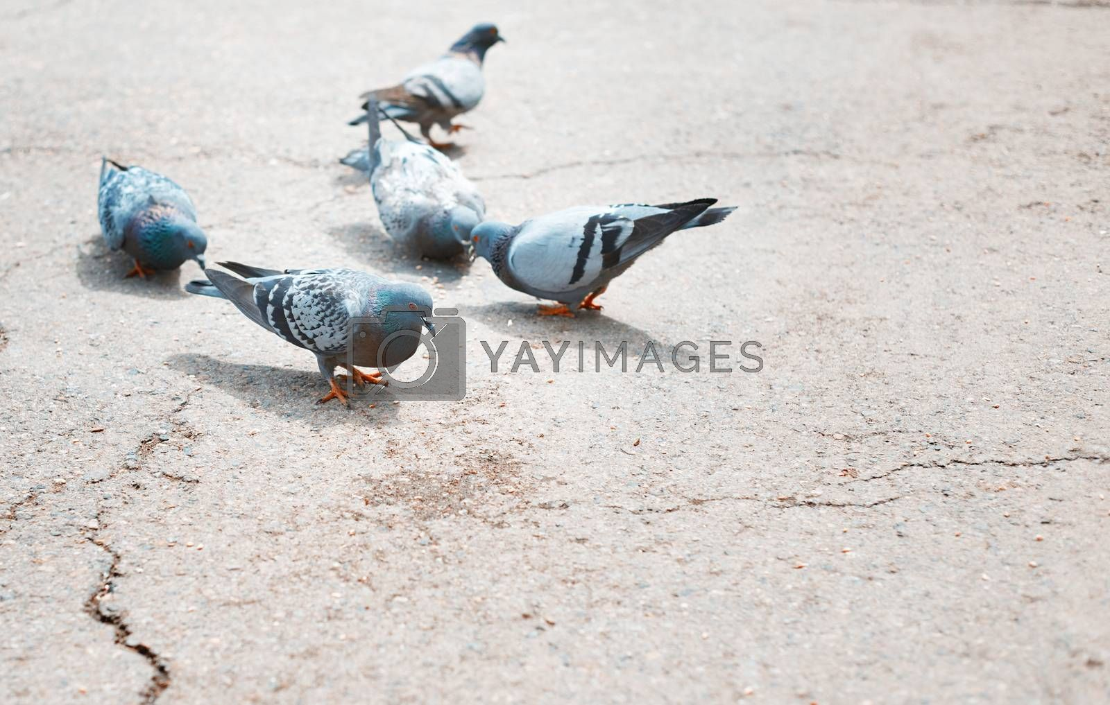 Close-up photo of the pigeons on a London street