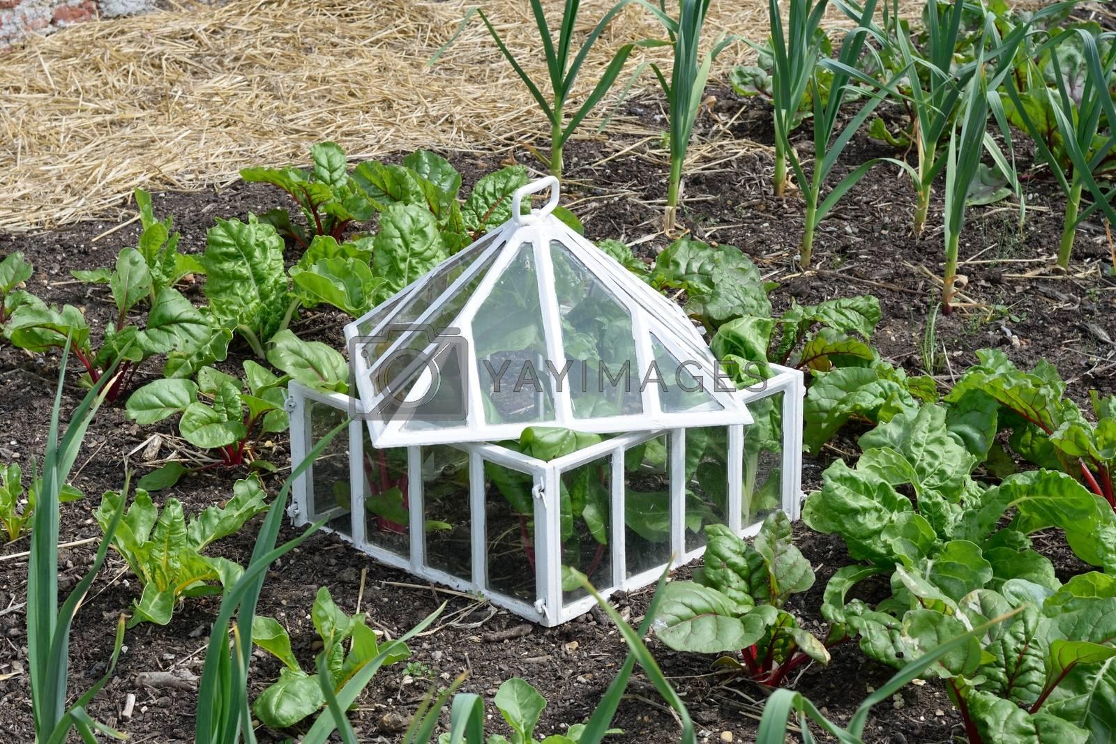 Antique white cloche in vegetable garden