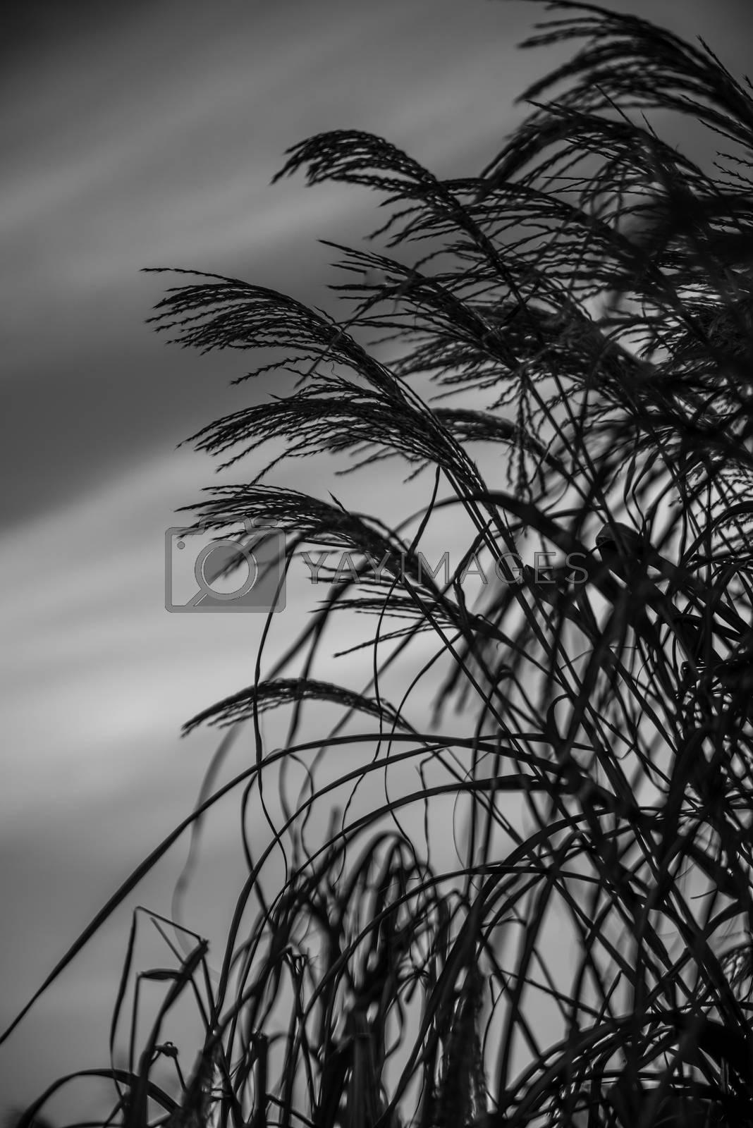 Strå mot himmelen by vidar.fredheim@dabb.no