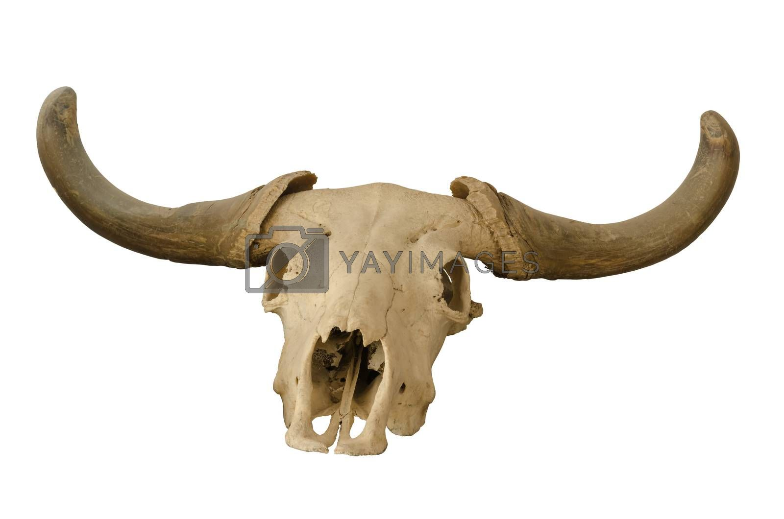 head skull of bull isolated on white background.