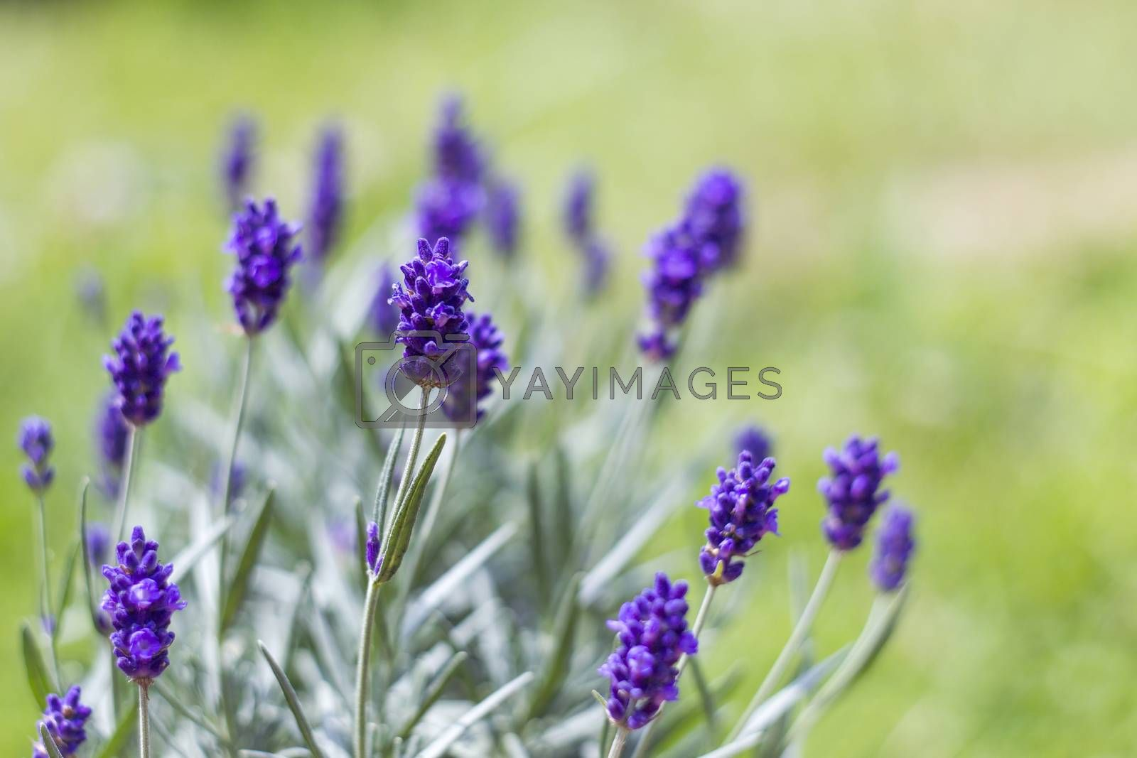 Royalty free image of lavender flowers by miradrozdowski