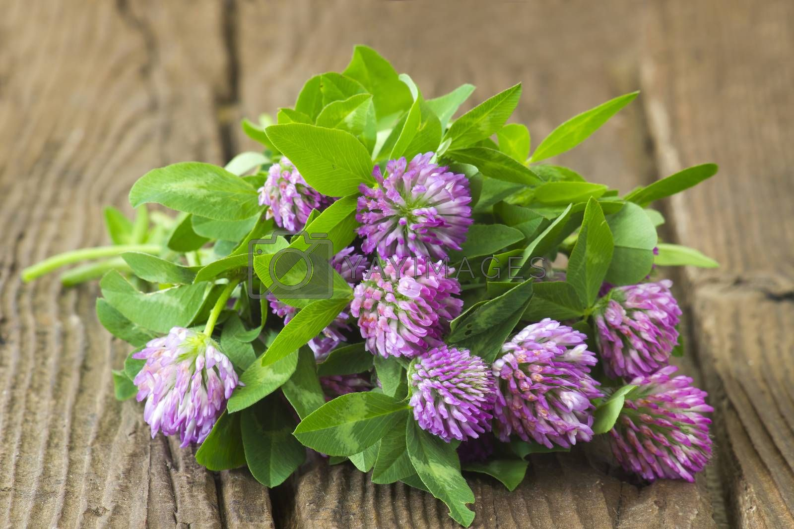 Bunch of clover on wooden background