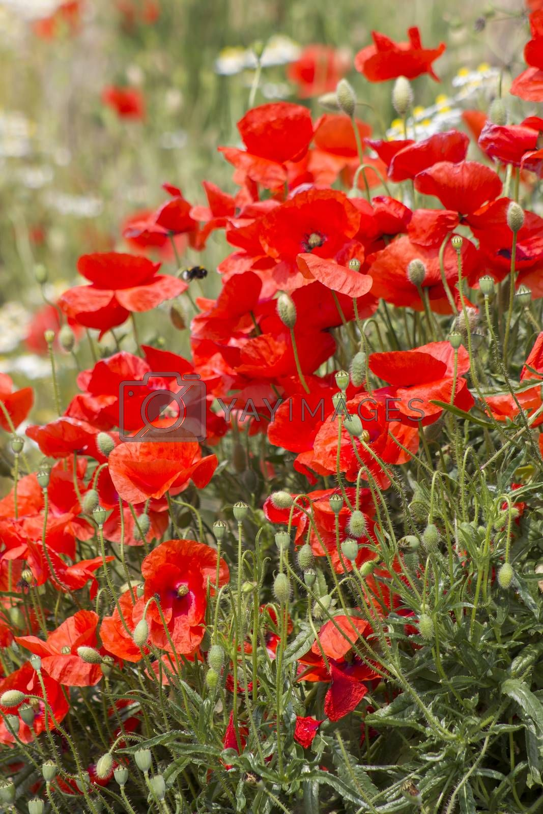 wild poppy flowers - poppies and chamomiles