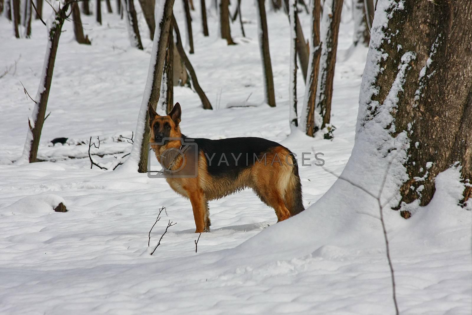 Beautiful German Shepherd  proudly observing environment in public park