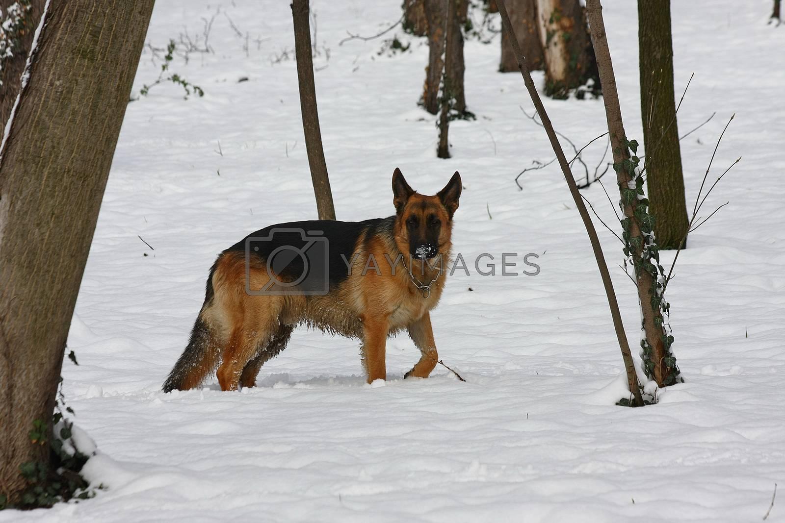 Beautiful German Shepherd in the forest by tdjoric