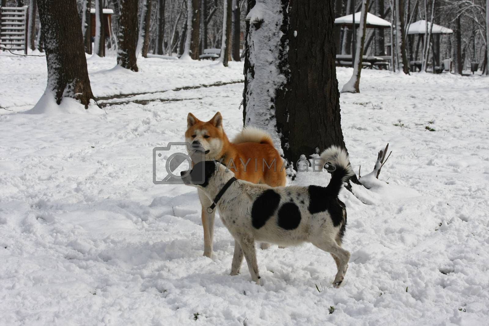 Dogs enjoying on the snow by tdjoric