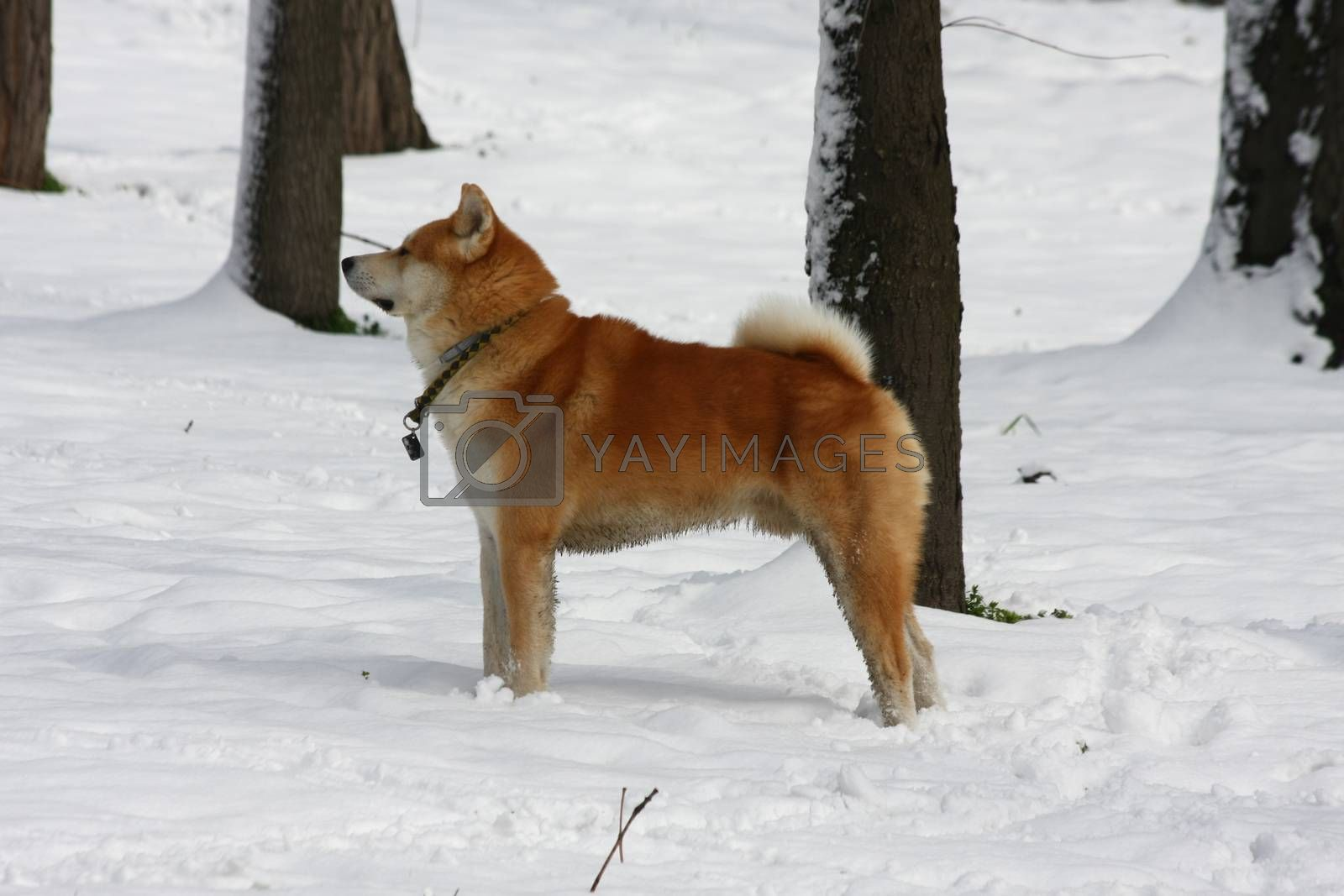 Beautiful Akita Inu proudly posing in  public park under the snow