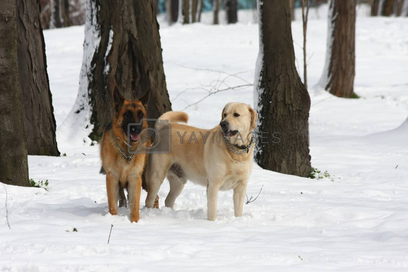 German Shepherd  and Labrador Retreiver enjoying in the forest under the snow