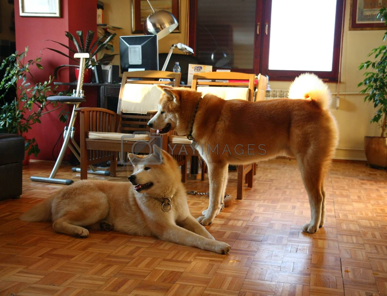 Beautiful Akita Inu dogs resting in the flat