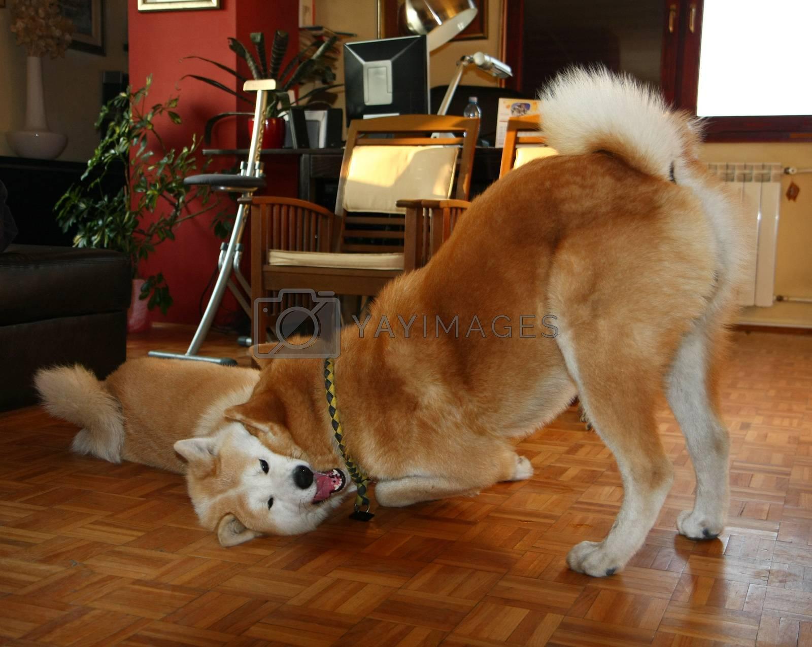 Beautiful Akita Inu dogs playing in the flat