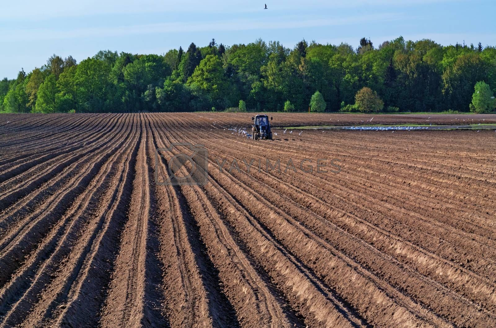 Tractor with a seeder with escort white birds.