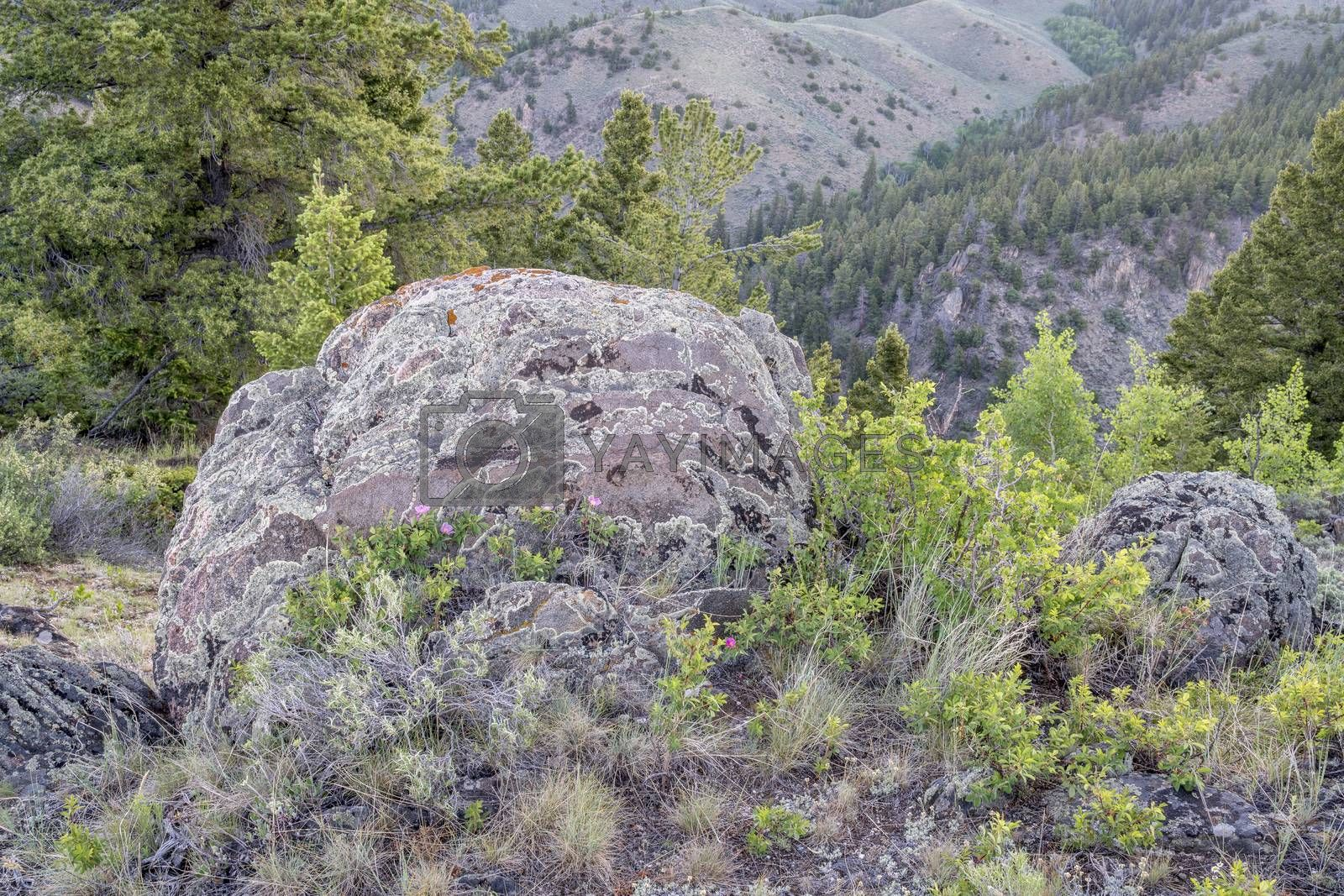 rock with lichen and wildflowers overlooking Northgate Canyon of North Platte RIver, North park, Colorado